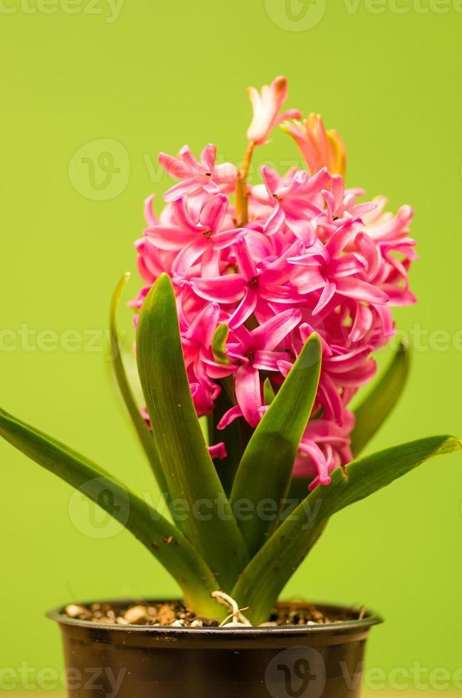 jacinto rosa em flor foto