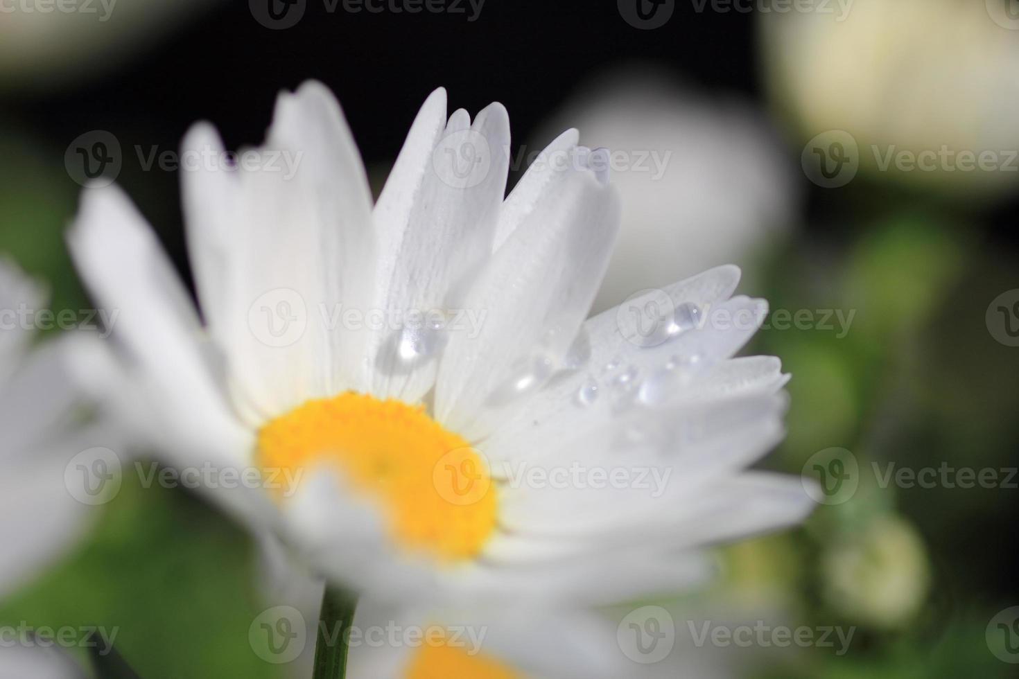 flor margarida foto