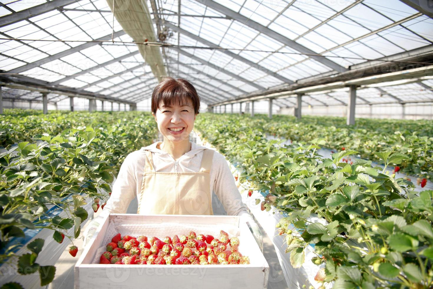 cultivadores de morango foto