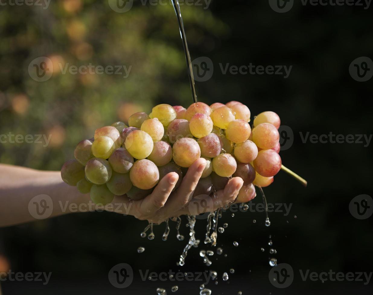 mãos de mulher segurando um cacho de uvas nas mãos foto