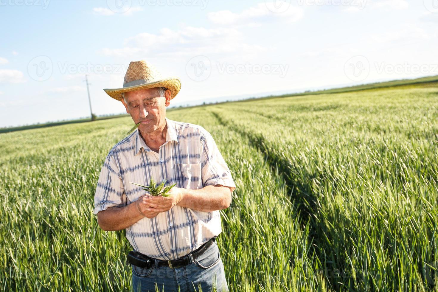 agricultor sênior em um campo, examinando a colheita foto