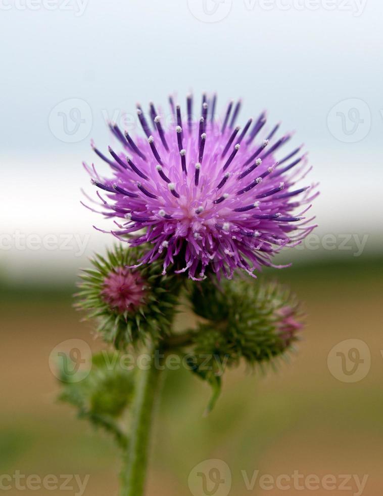 flor de cardo foto