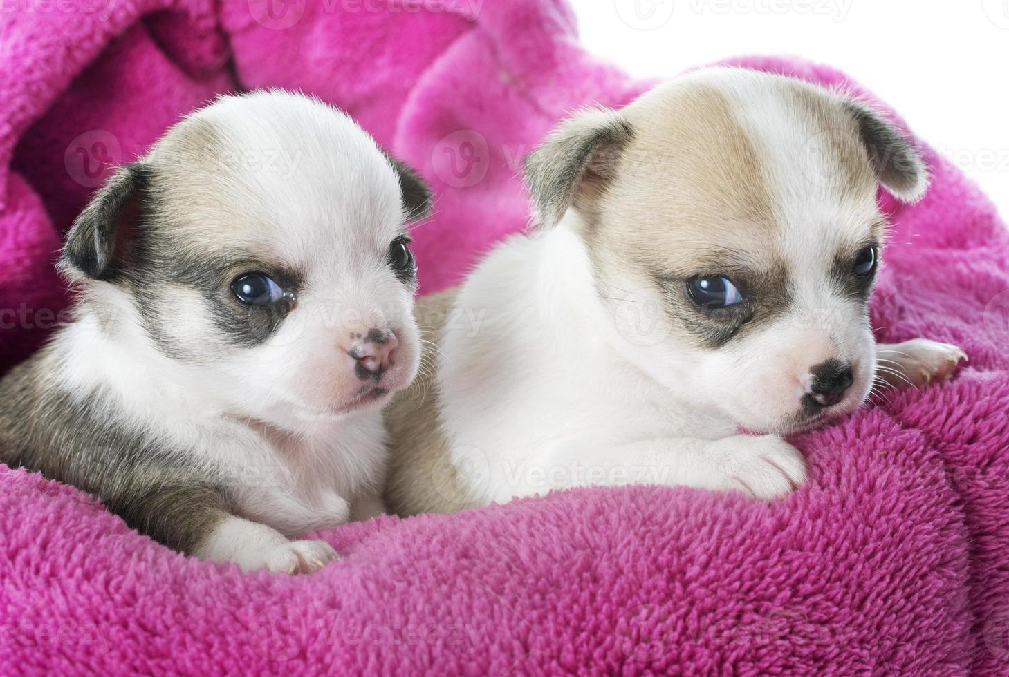 filhotes de cachorro chihuahua foto