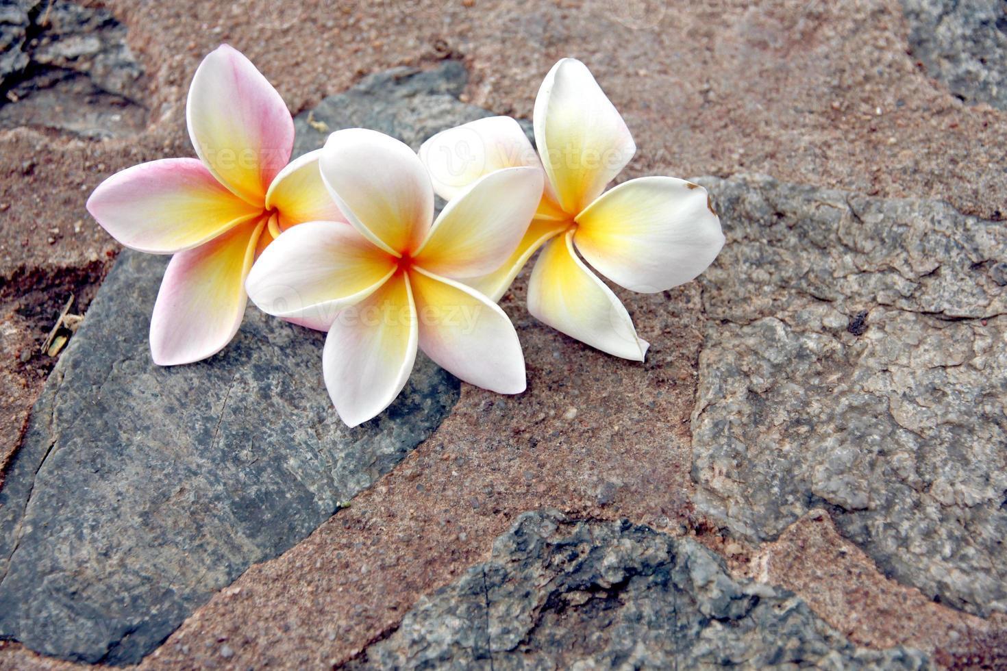 flores de frangipani são branco amarelado em fundo de pedra. foto