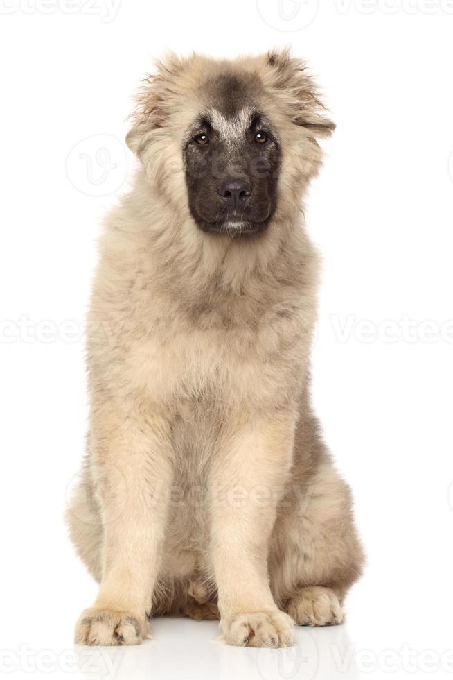 filhote de pastor caucasiano foto