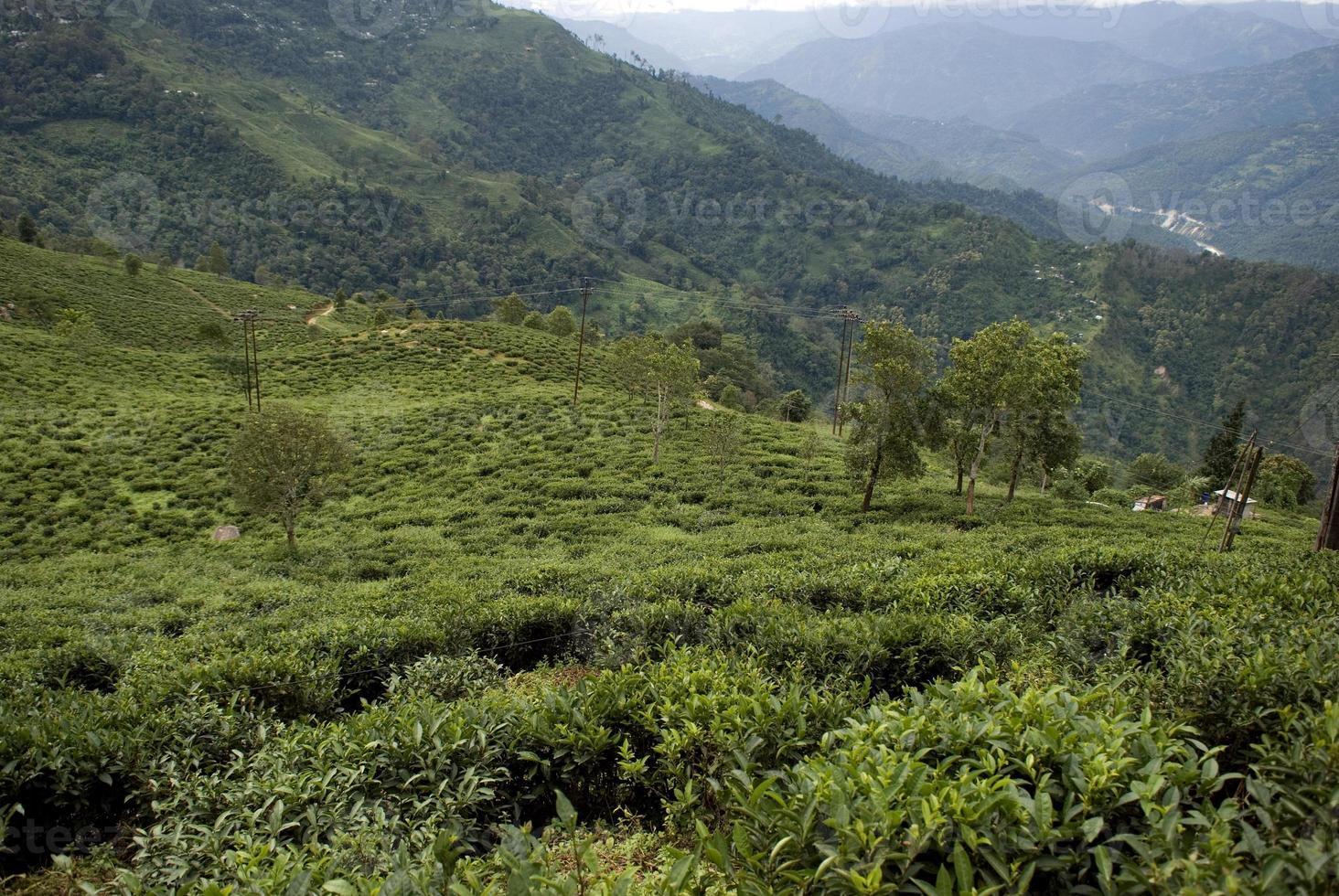 jardim de chá, bengala ocidental, índia foto