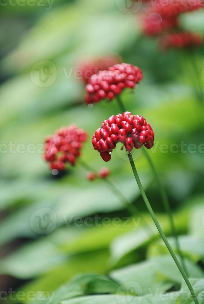 fruto de ginseng vermelho tradicional da Coréia foto