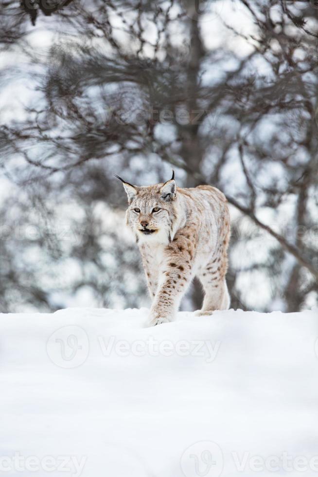 lince europeu caminha na neve foto