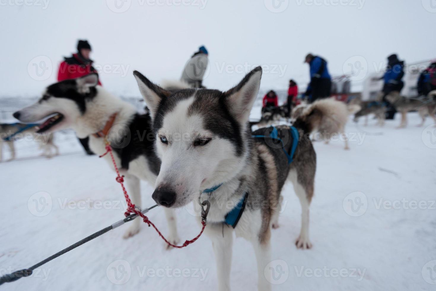 cães de trenó husky foto