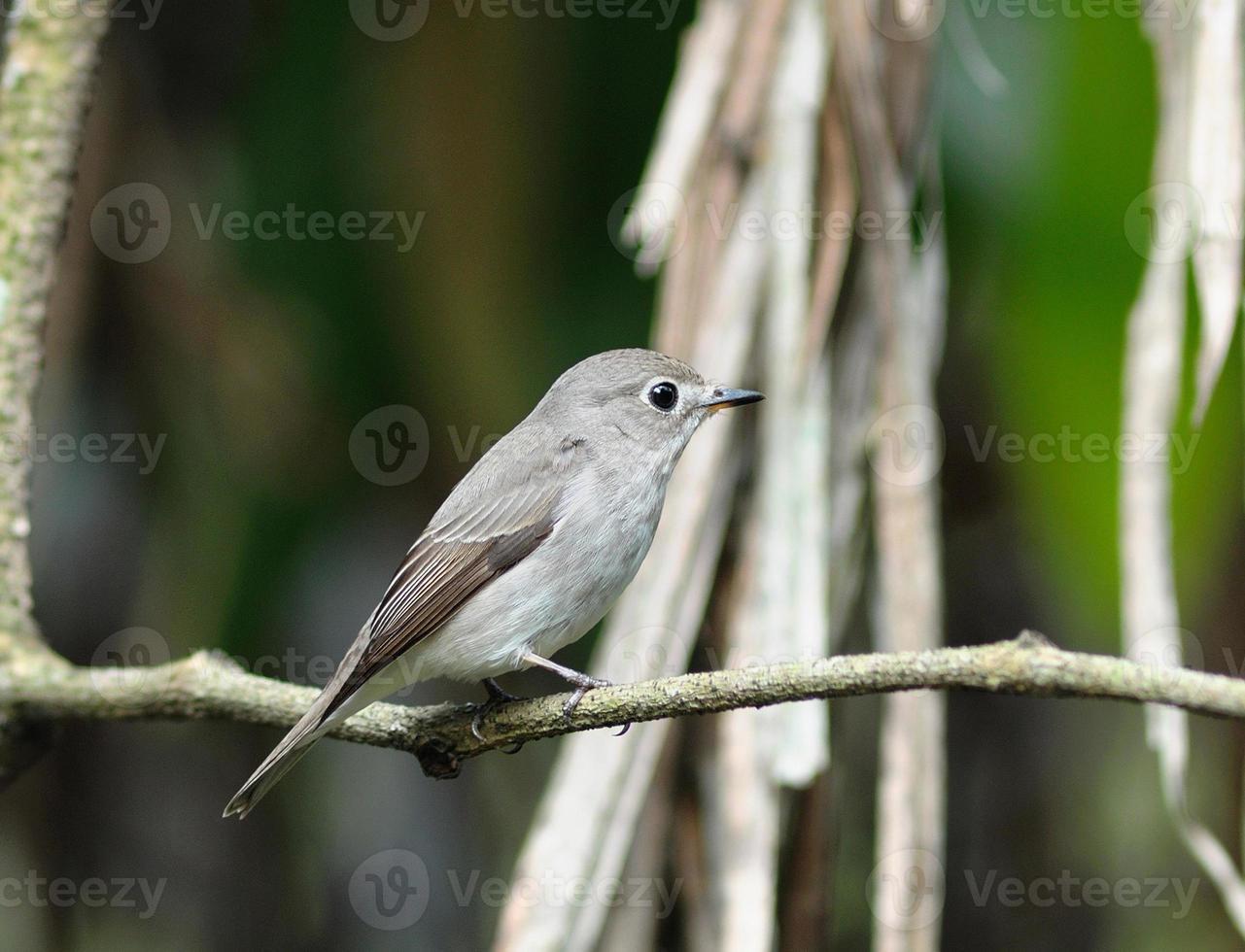 papa-moscas marrom asiático foto
