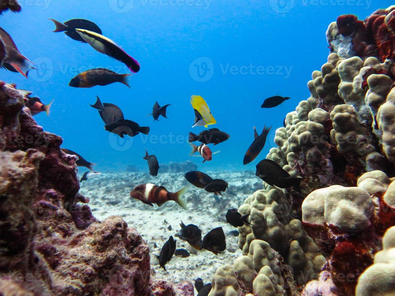 peixes de recife entre cabeças de coral foto