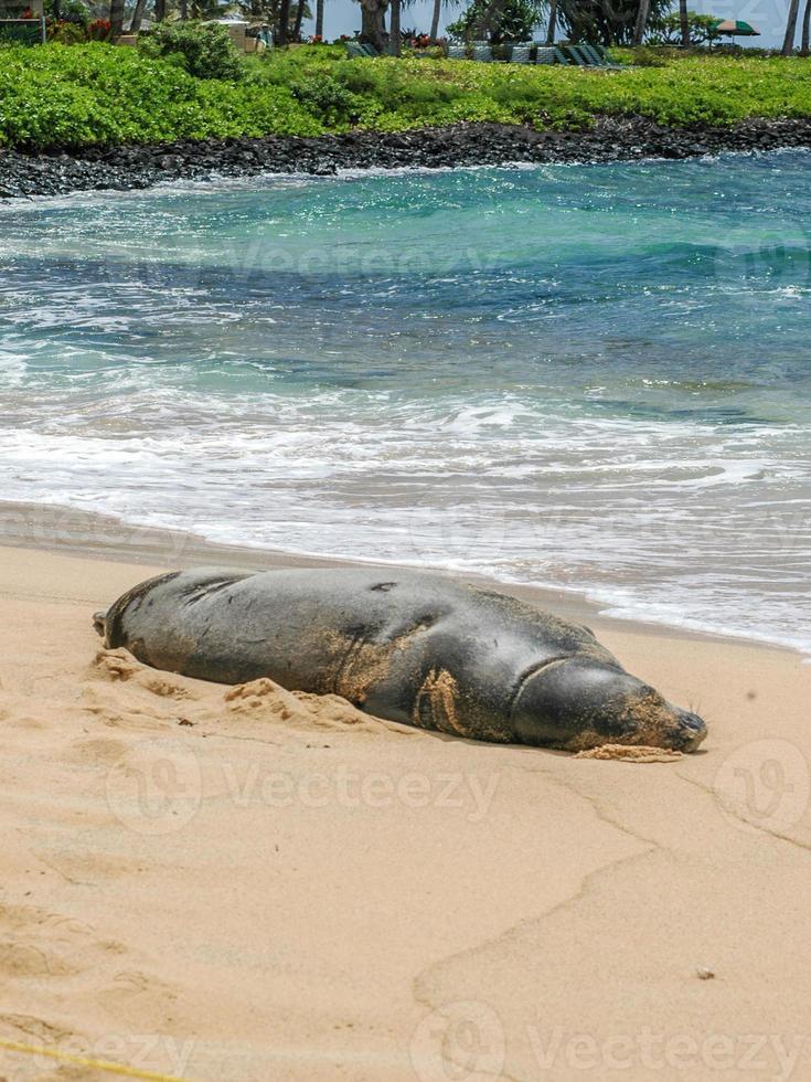 selo de monge havaiano foto