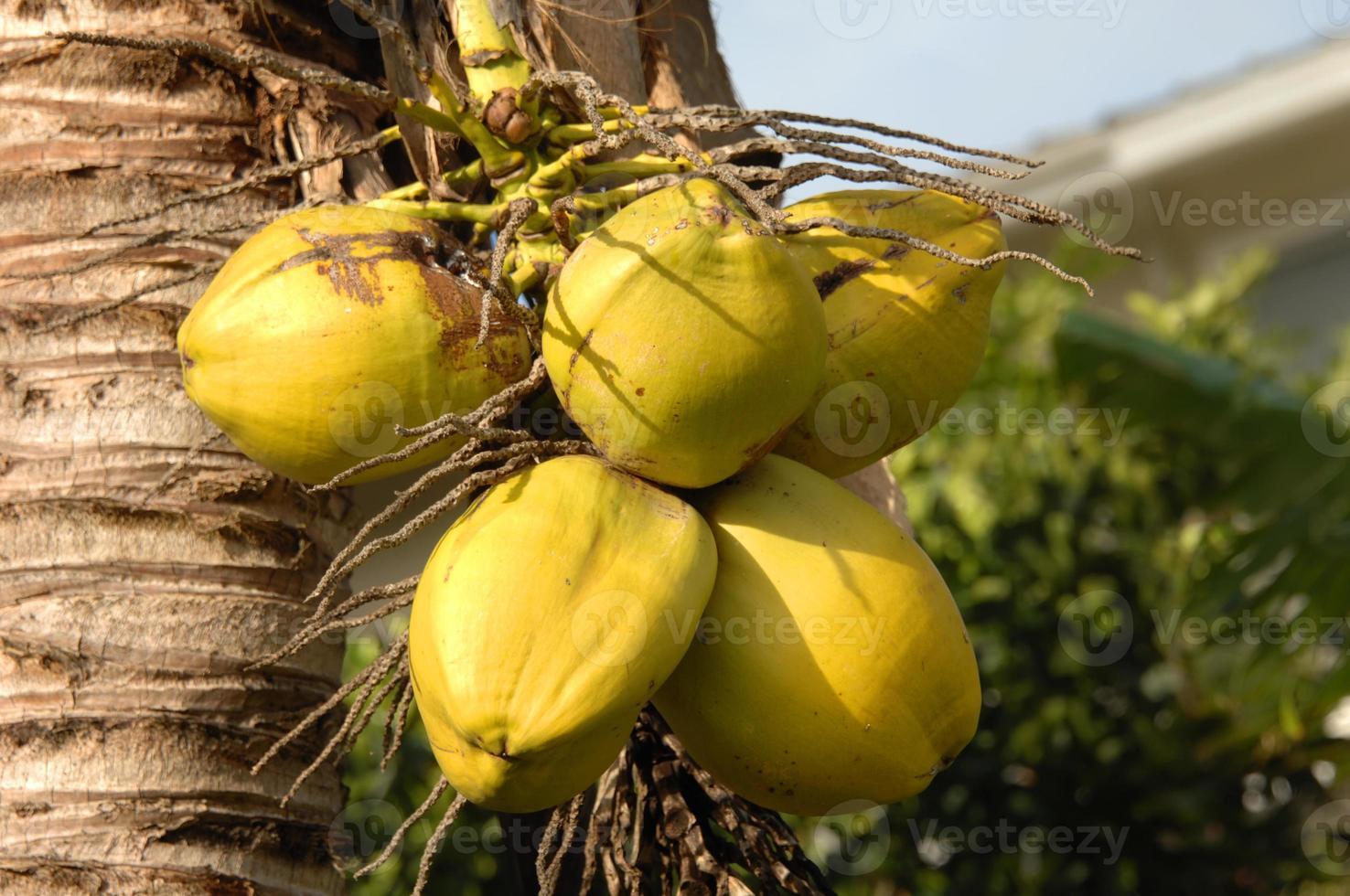 cocos verdes foto