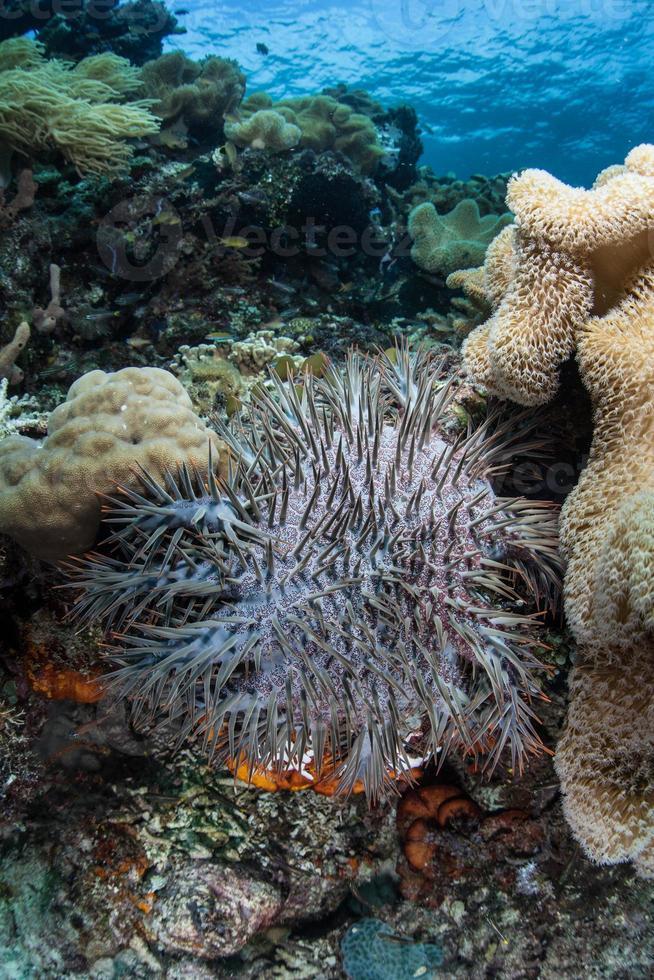 estrela do mar coroa de espinhos foto