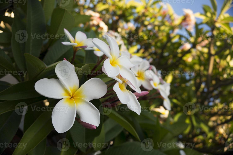 canto inferior esquerdo do frangipani foto