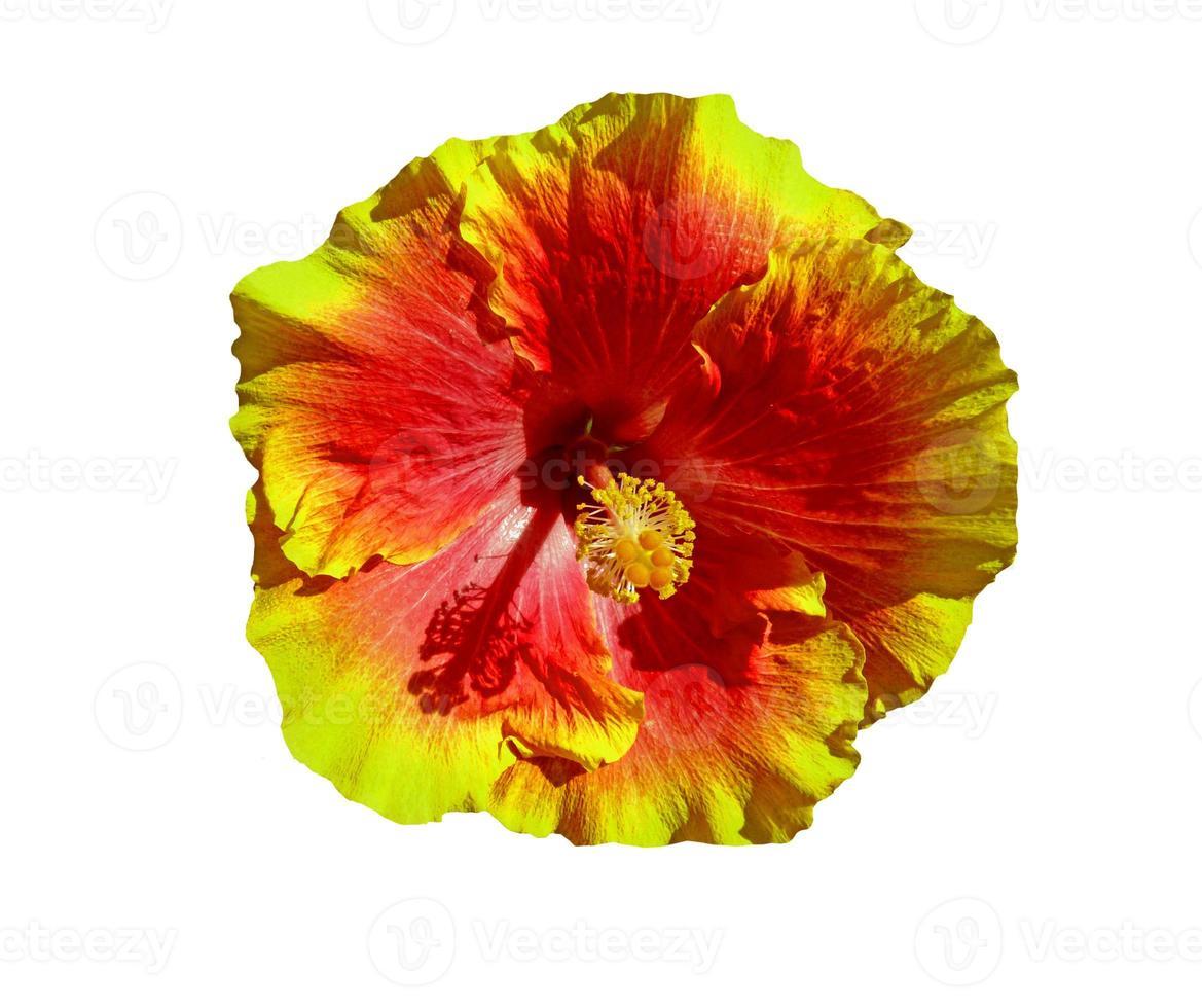 flor de hibisco havaí foto