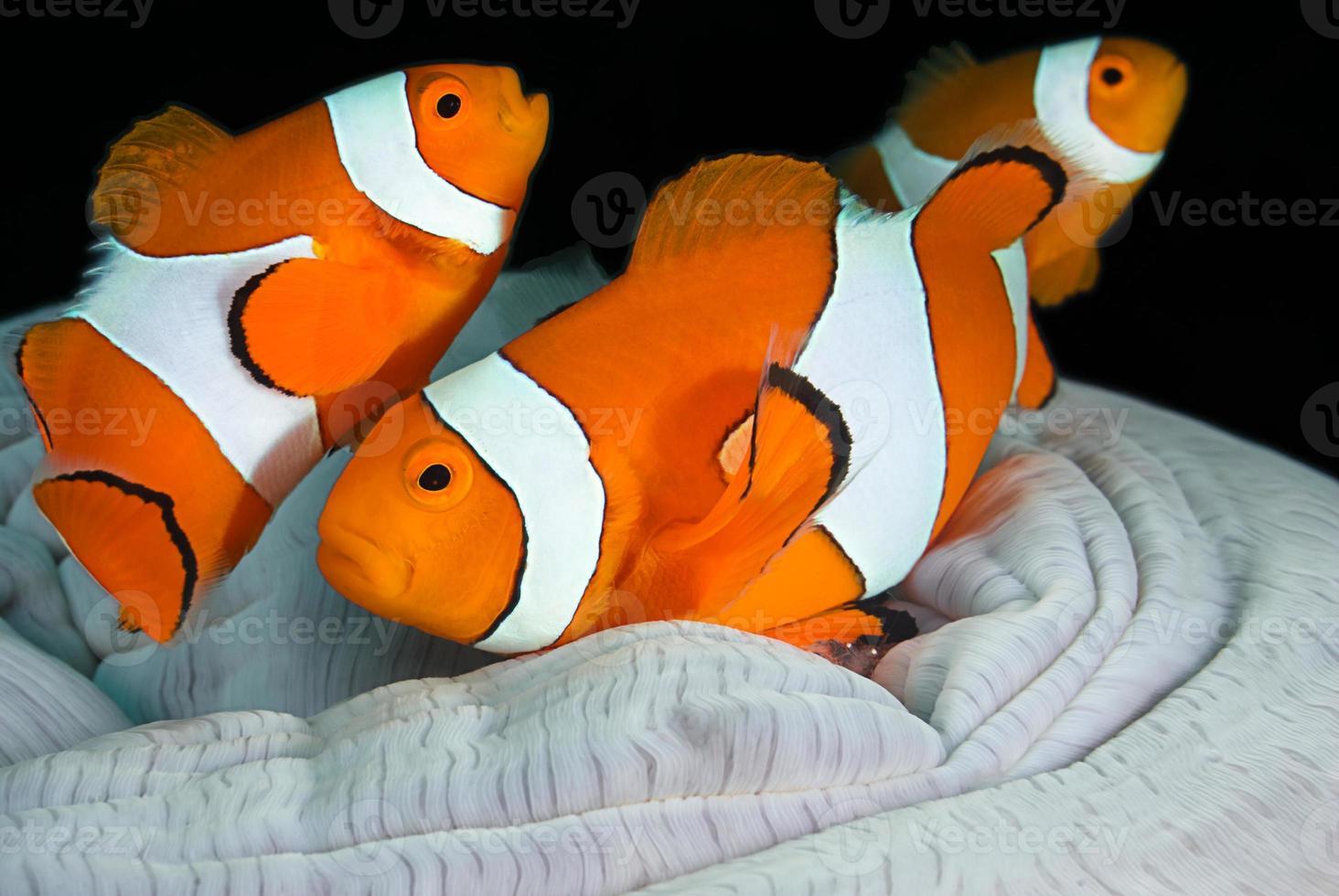 família peixe-palhaço foto