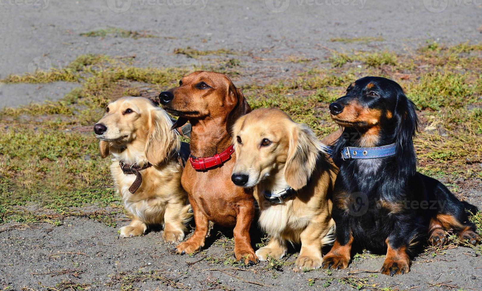 família dachshund. foto