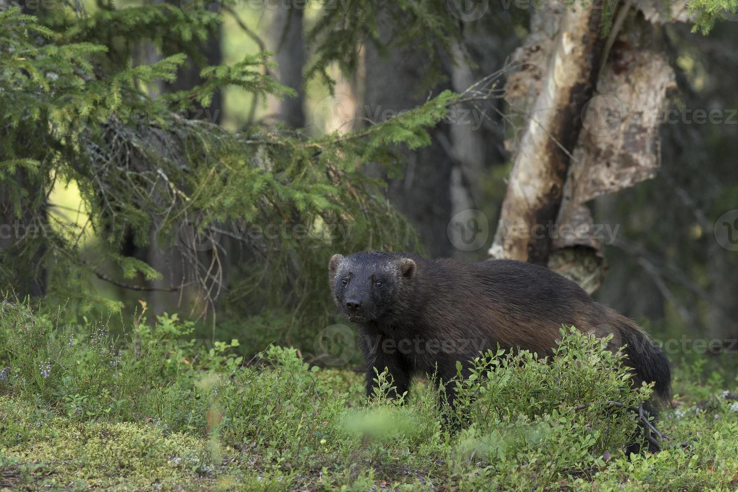 wolverine na floresta foto