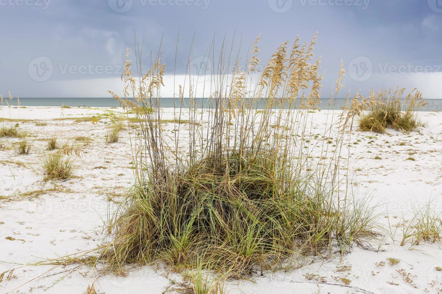 gramíneas vermelhas na ilha de gasparilla fl foto