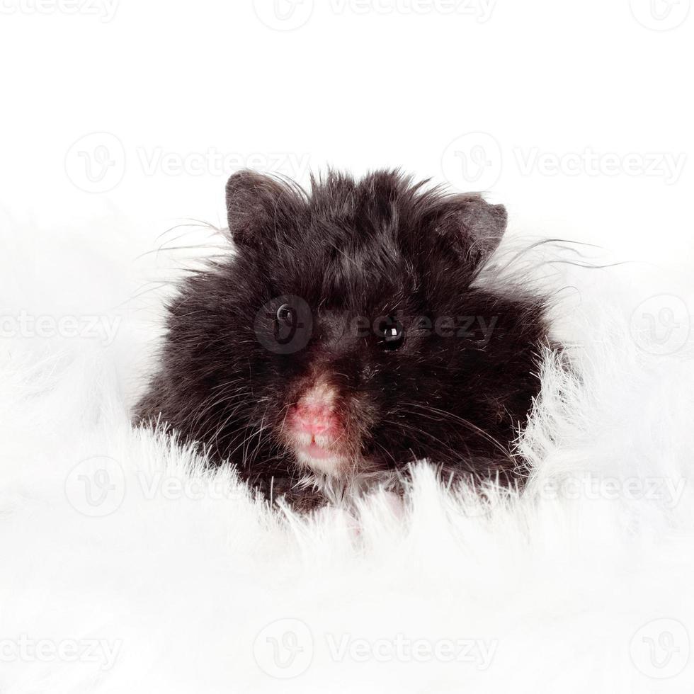 retrato de hamster foto