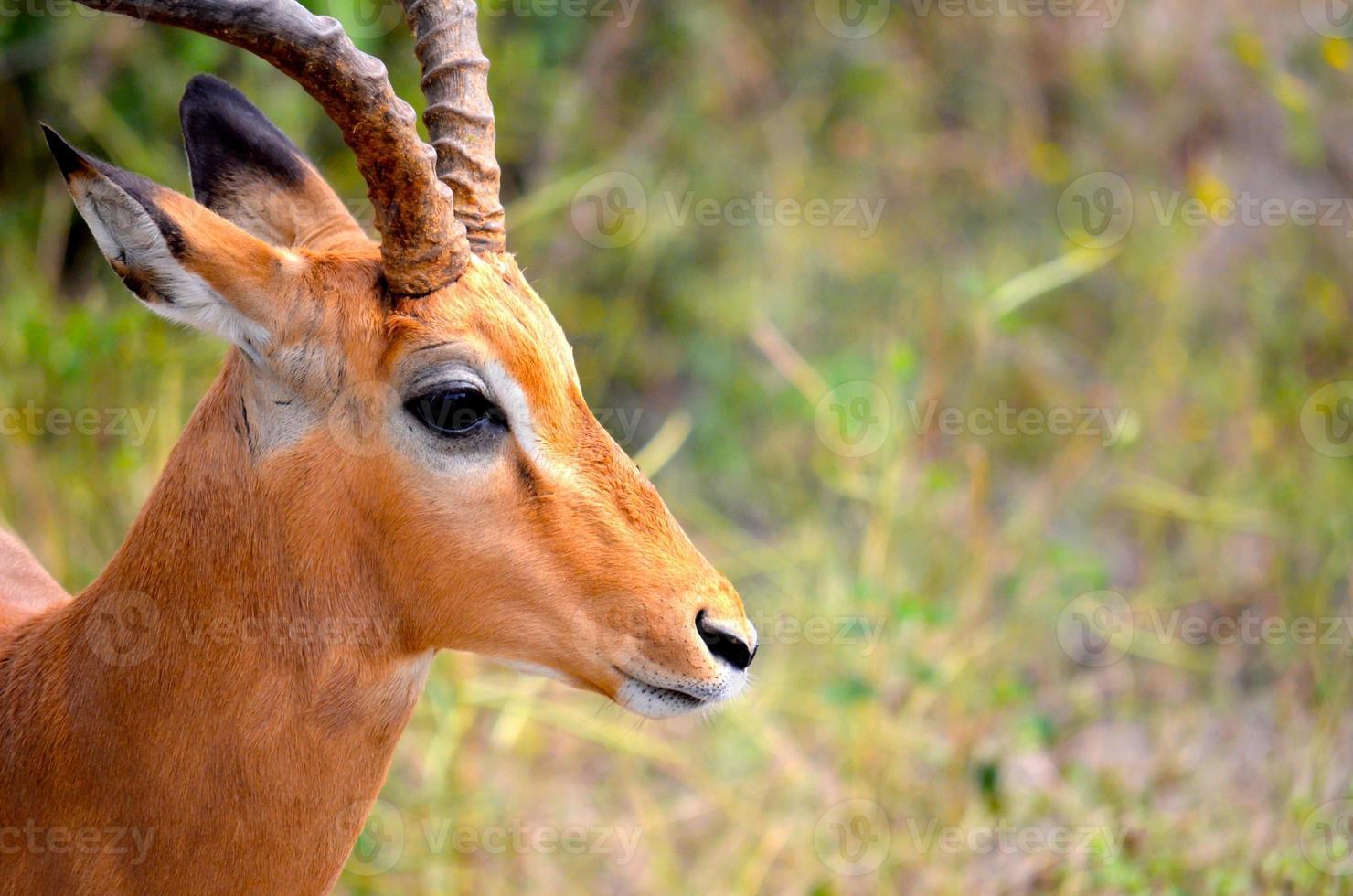retrato de impala foto