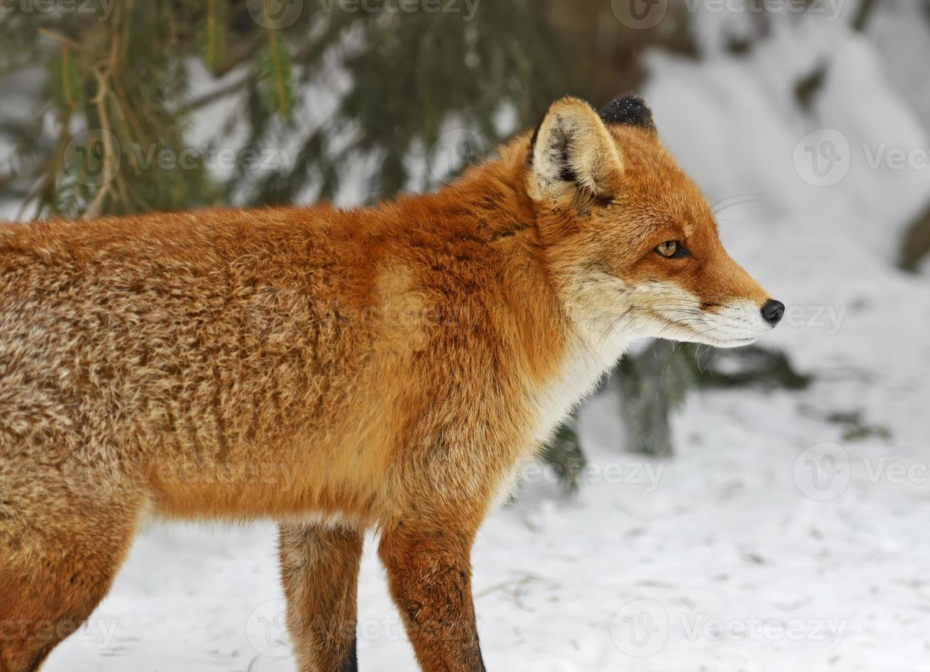 raposas retrato foto
