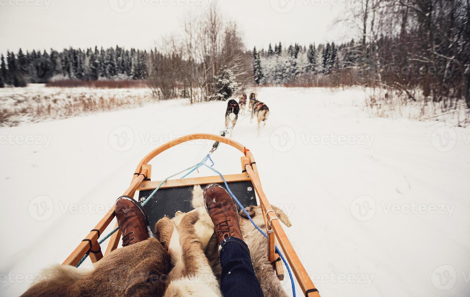 cães de trenó na Finlândia central foto