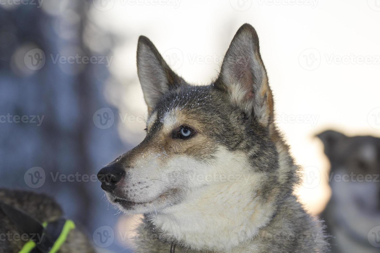 cão husky de olhos azuis pronto para puxar um trenó, Lapônia foto