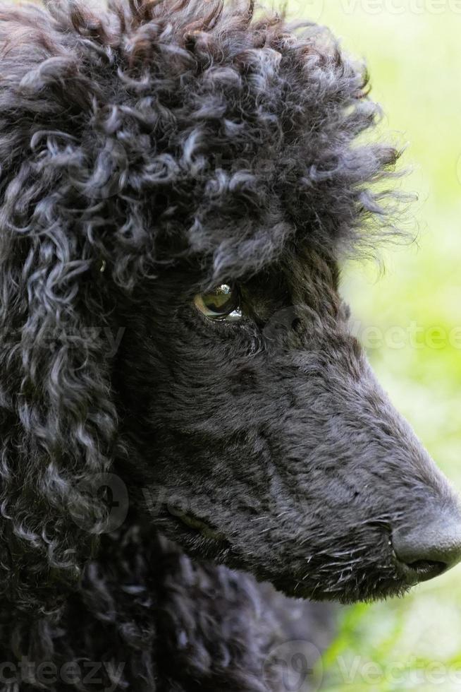 retrato de poodle preto. foto