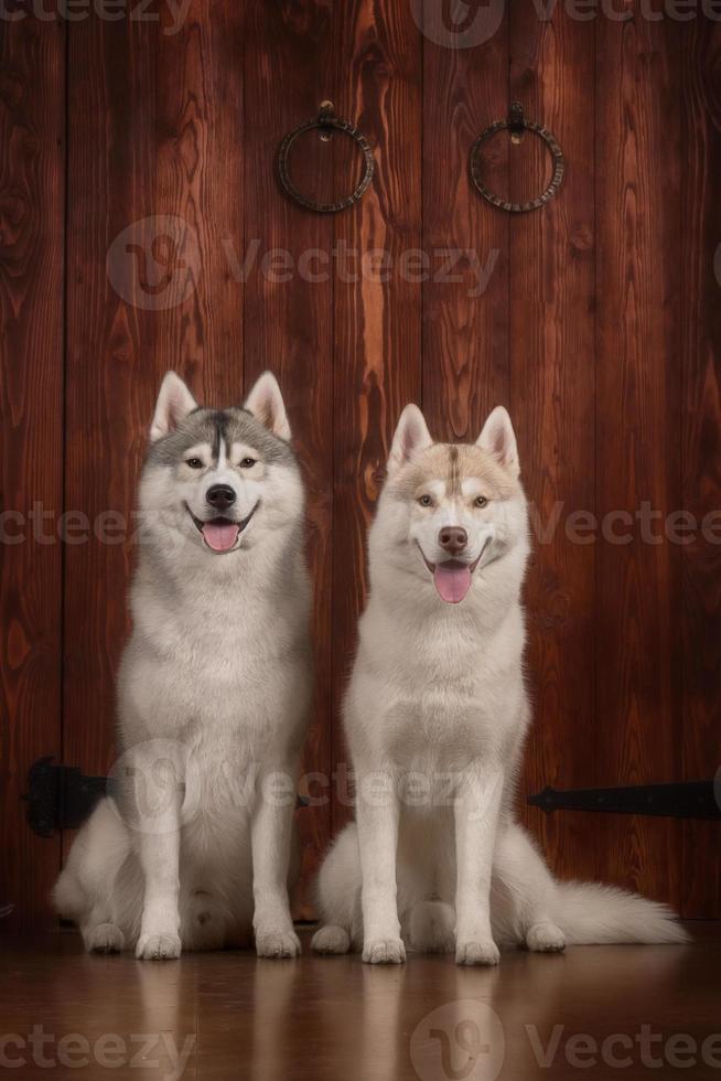cão raça husky siberiano, cão retrato em uma cor de estúdio foto