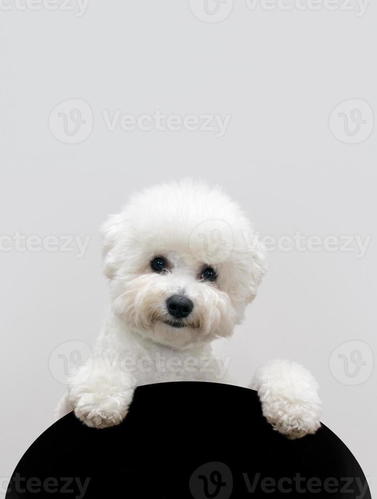 cão bichon foto