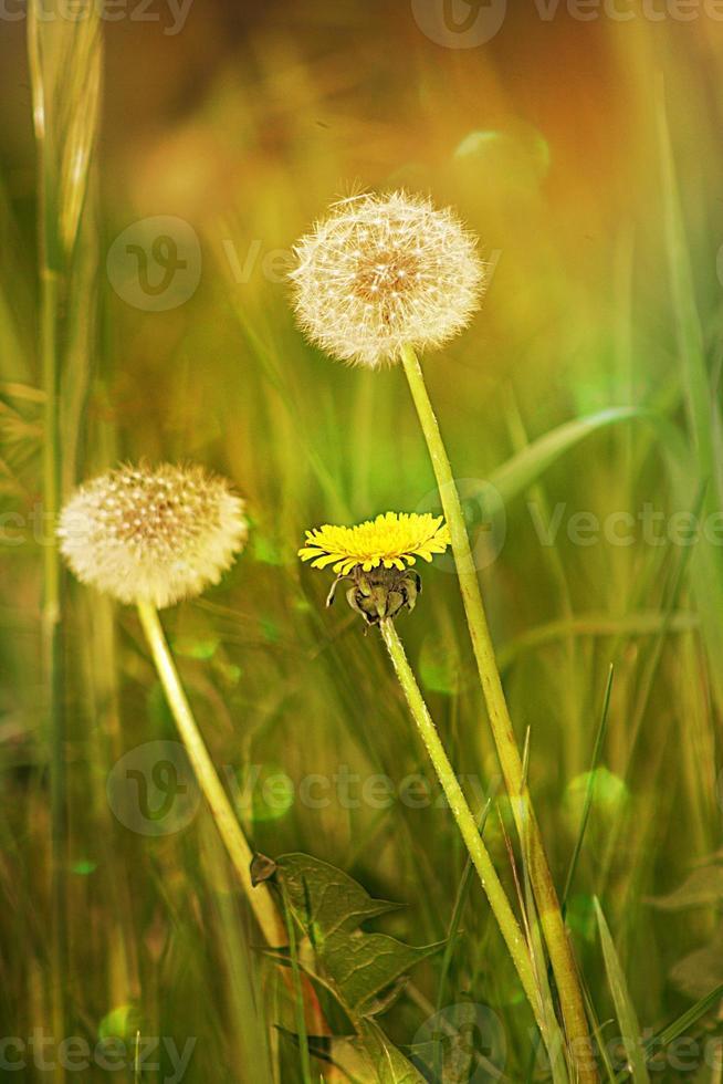 semente de dente de leão por trás da flor amarela foto