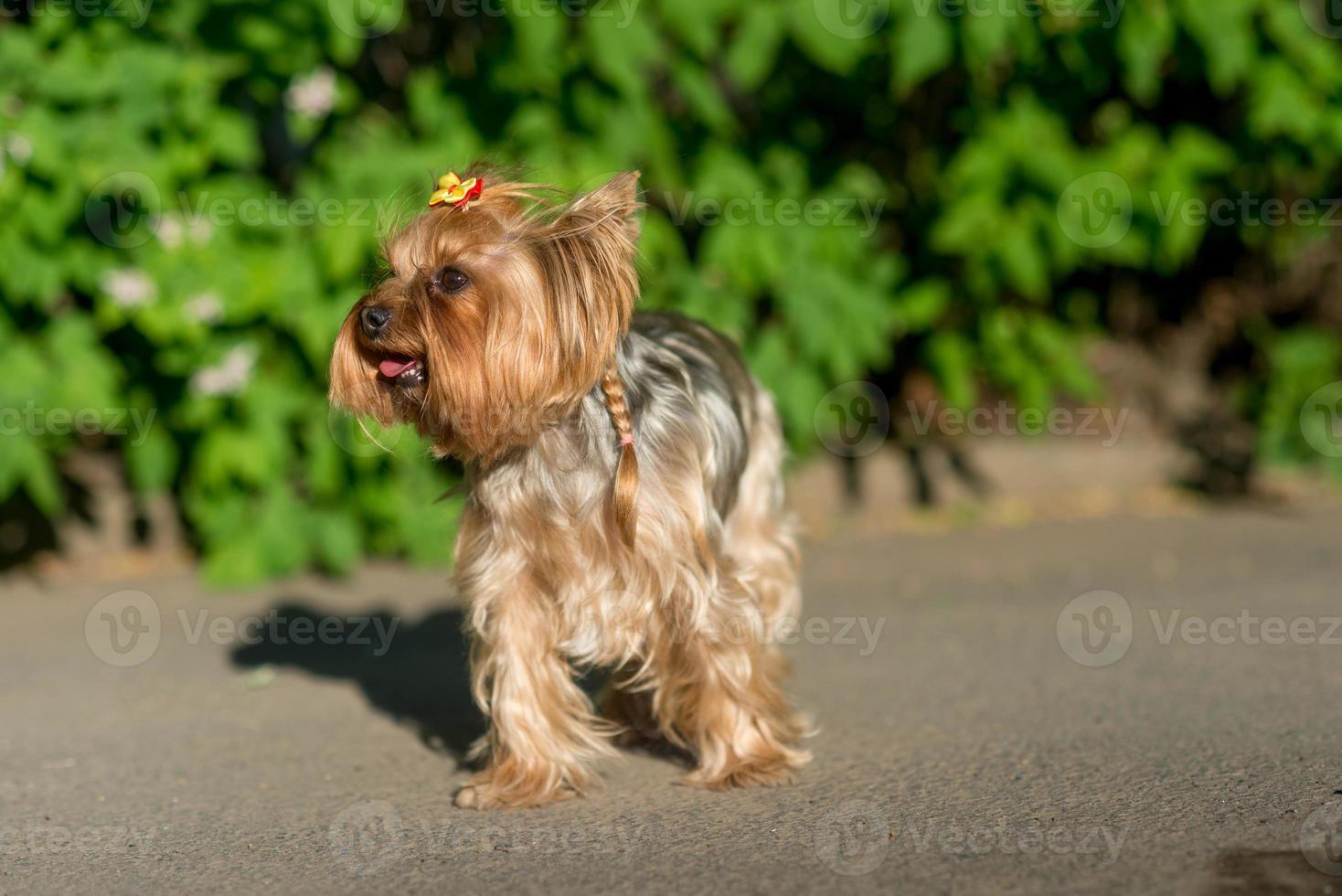 retrato do yorkshire terrier foto