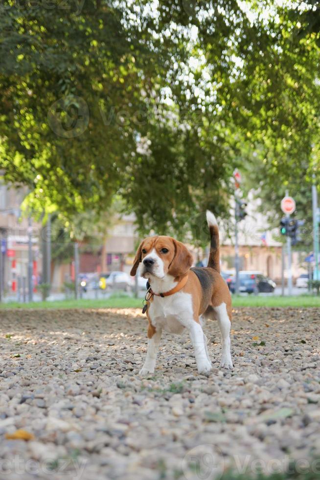 cachorro beagle posando no parque na caminhada de verão foto