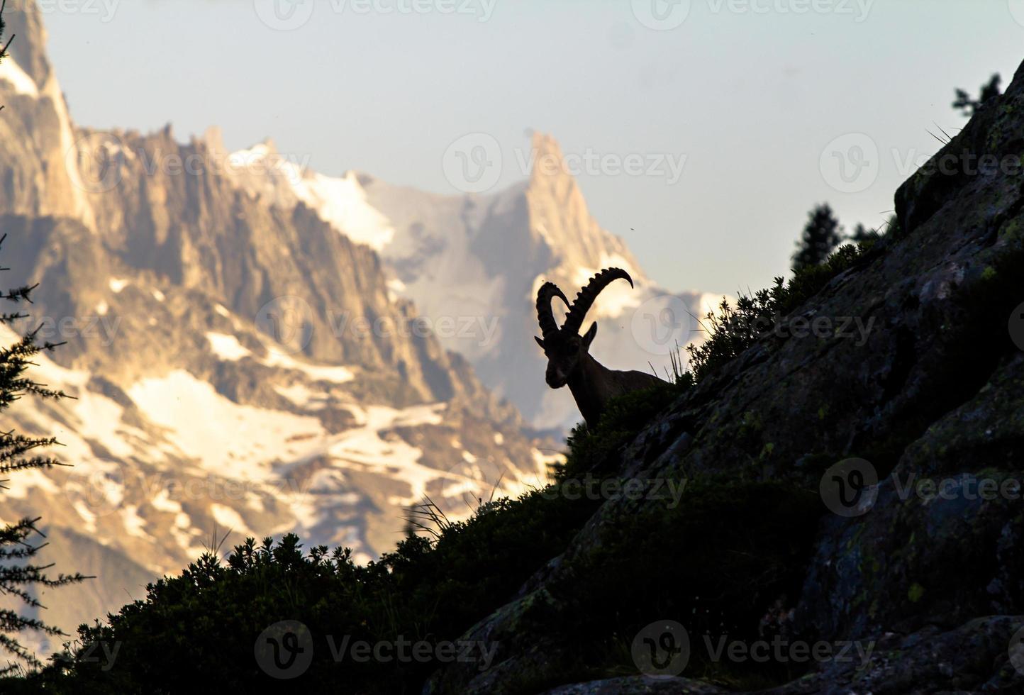 cabra da montanha foto