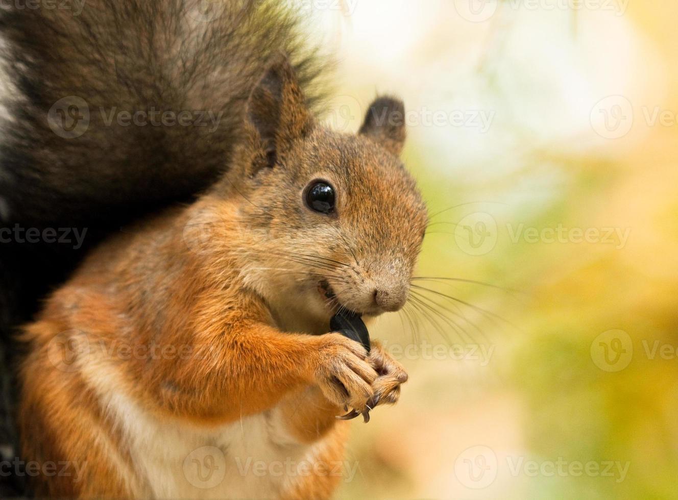 esquilo com sementes de girassol foto