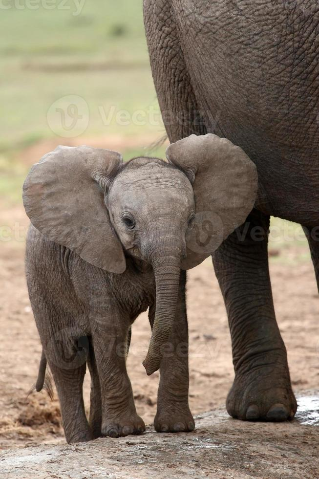 bebê elefante africano foto