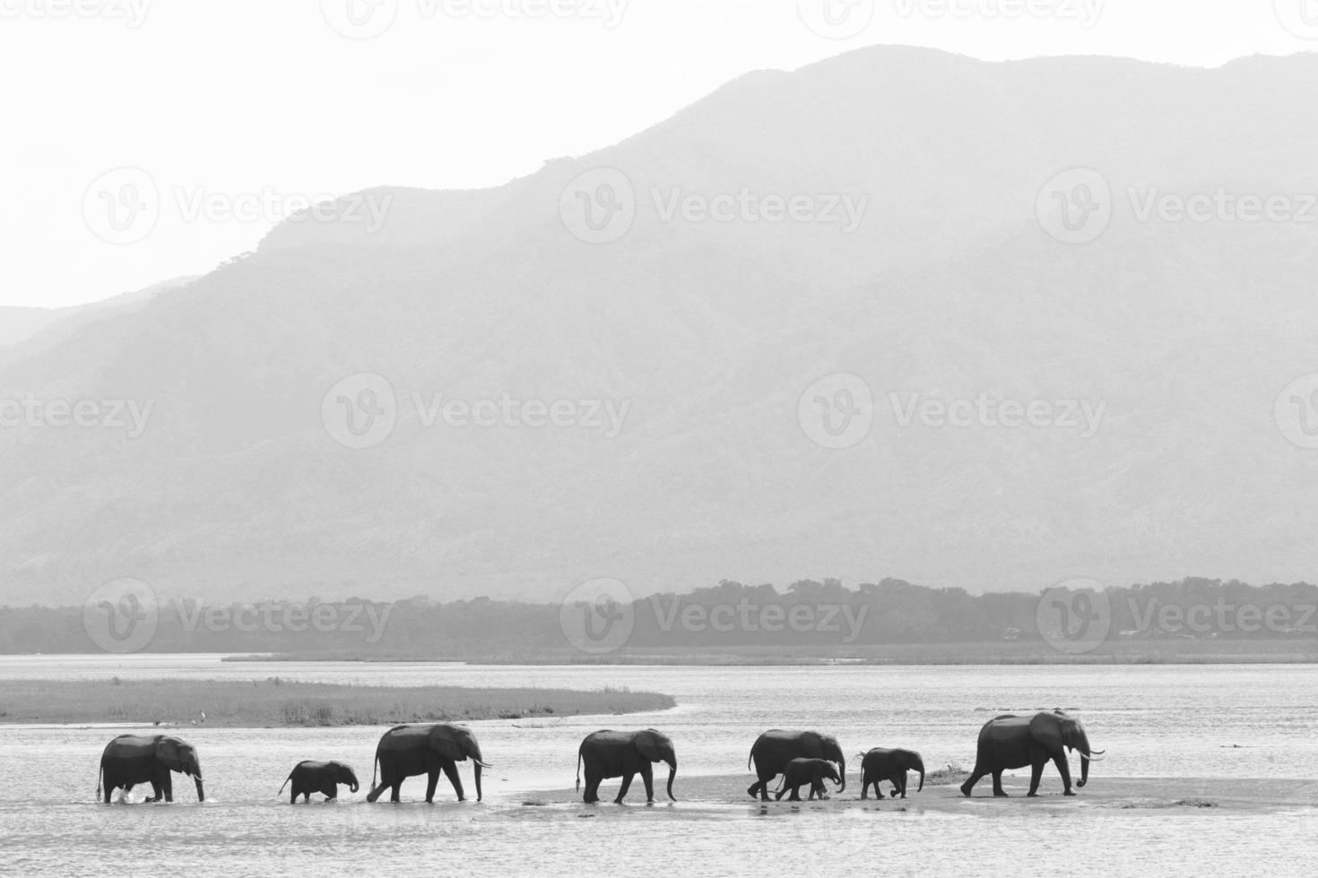 manada de elefantes andando na água foto