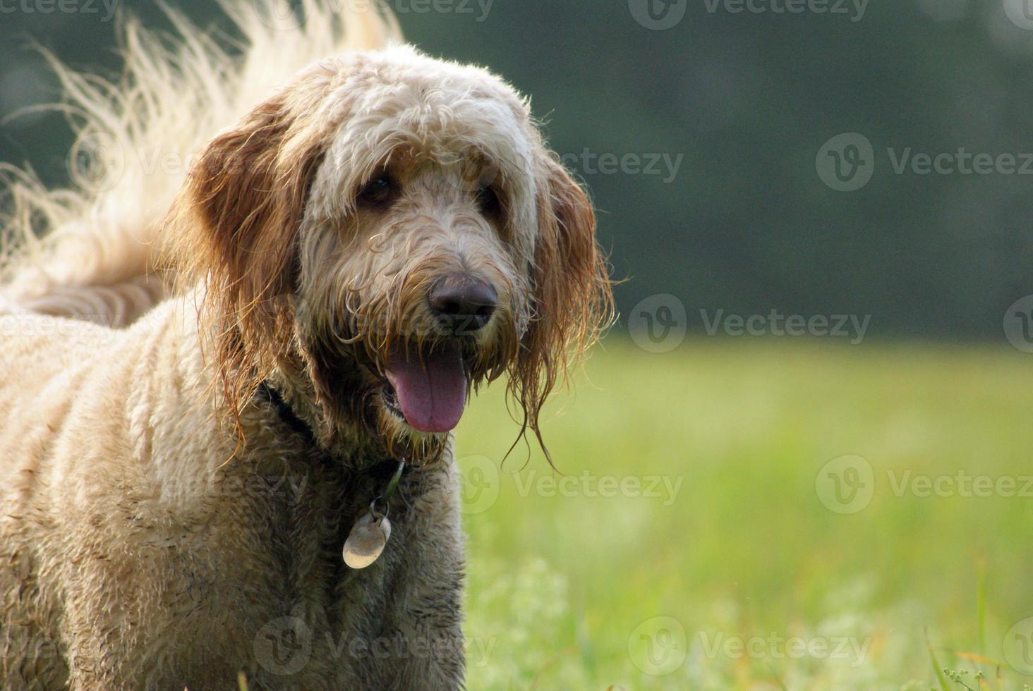 goldendoodle, desfrutando de um passeio em um dia ensolarado. foto
