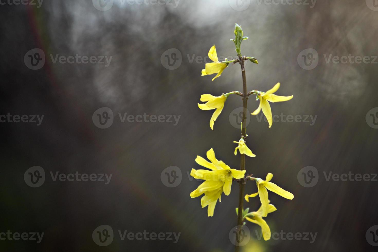 forsítia, na primavera foto