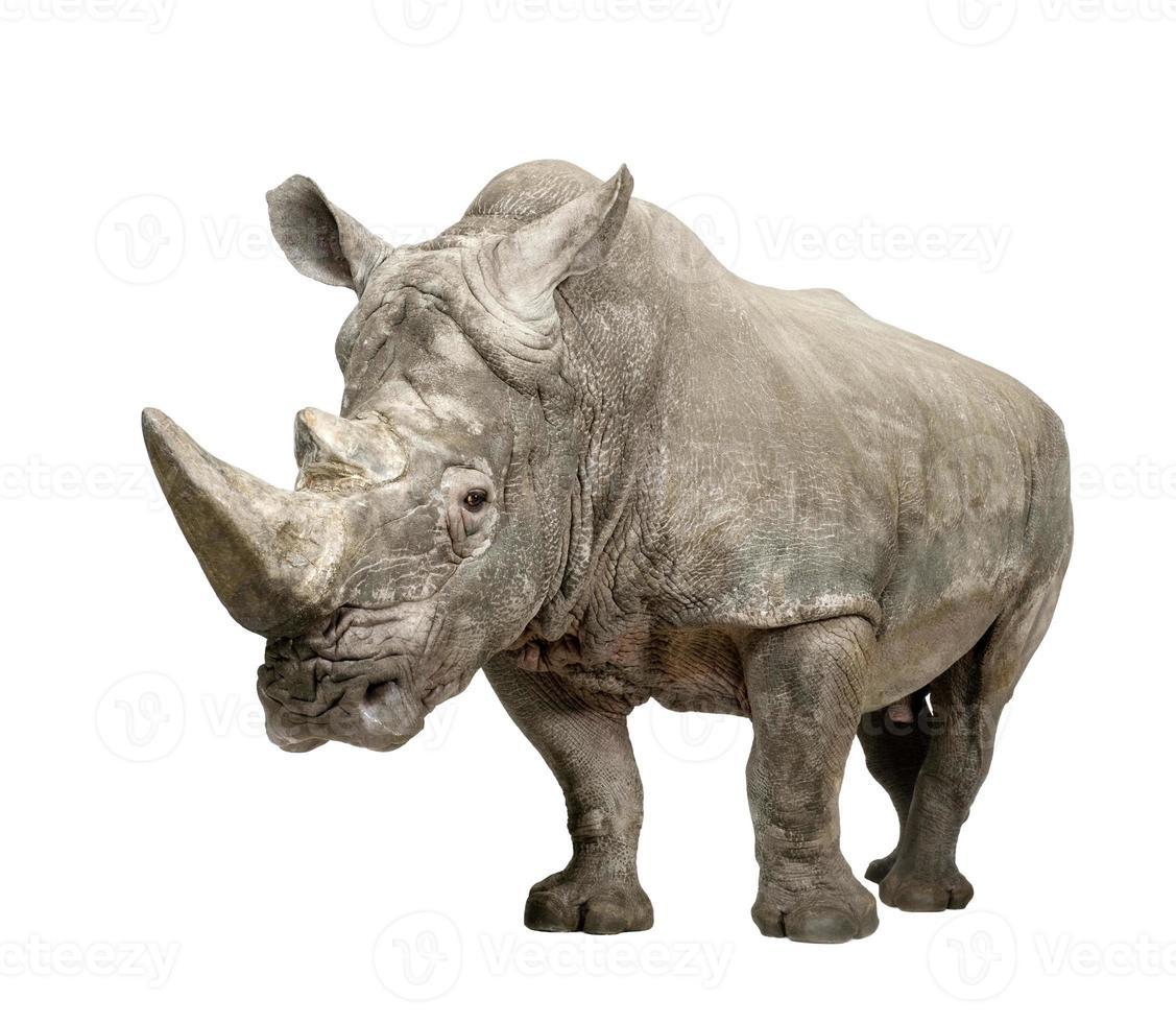 rinoceronte branco (+/- 10 anos) foto