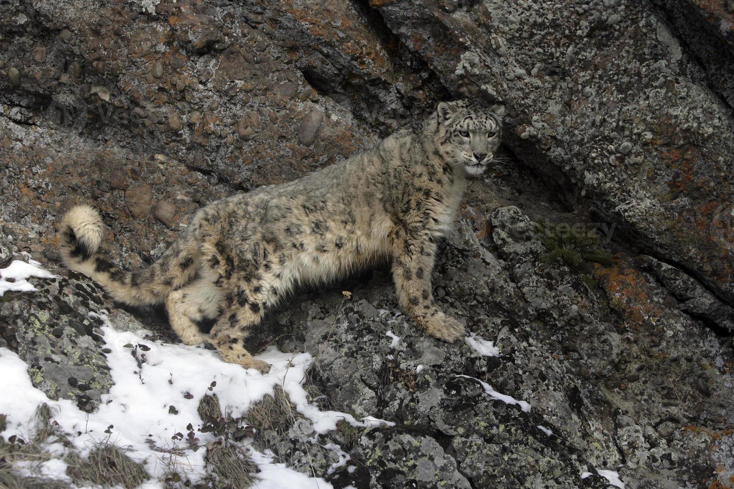 leopardo-das-neves, uncia unciaa foto