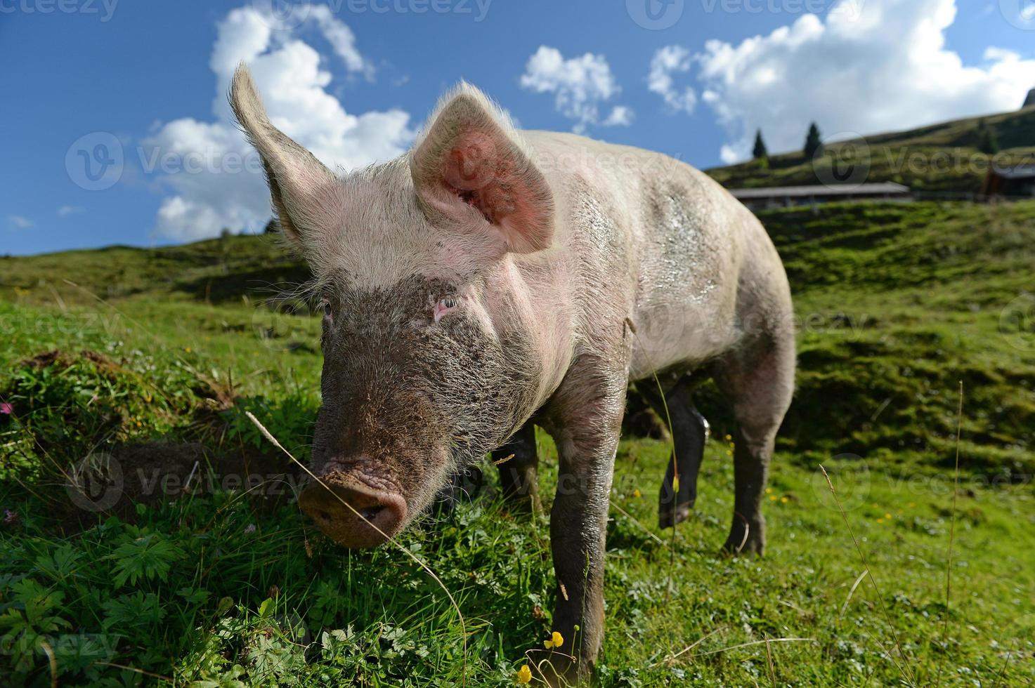 hausschwein foto