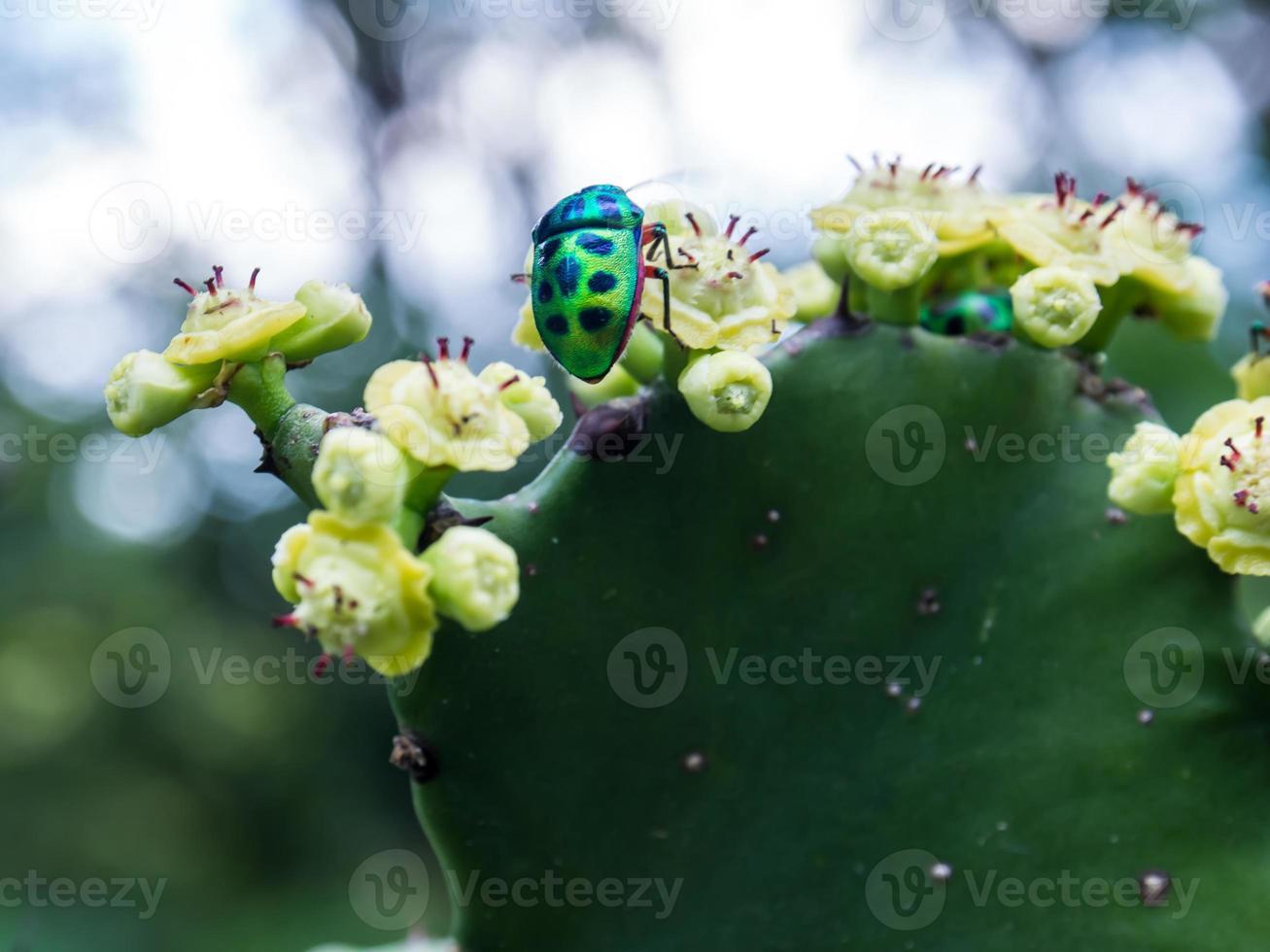 besouro joia bug nas flores de cacto de pera espinhosa foto