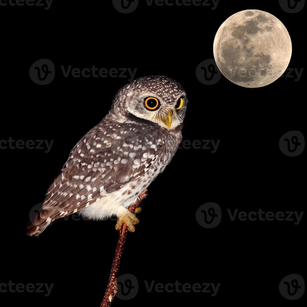 pássaro noturno coruja foto