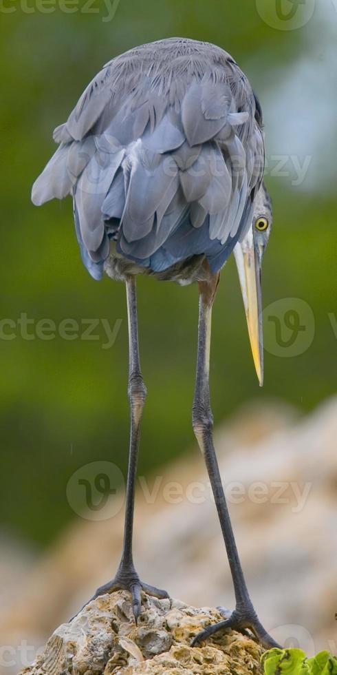 Garça-real de grande azul foto