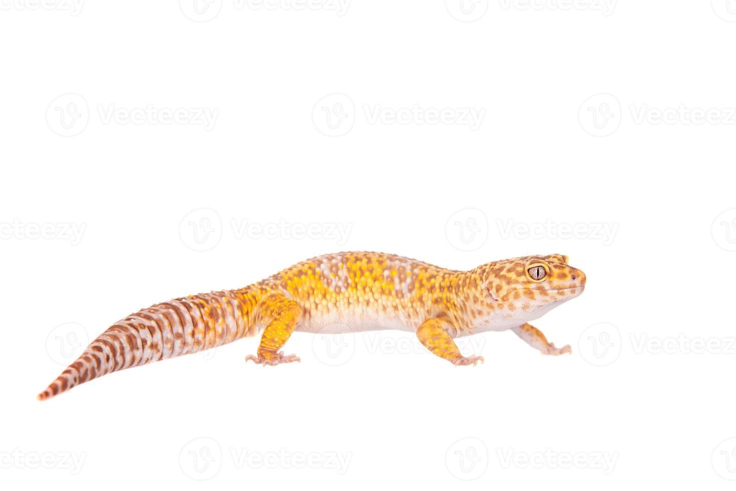 lagartixa leopardo em um fundo branco foto