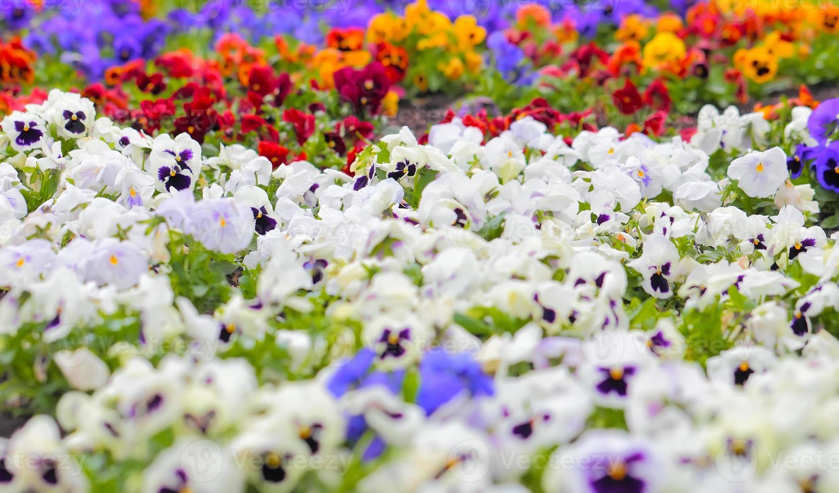 flores coloridas de pansy no canteiro foto
