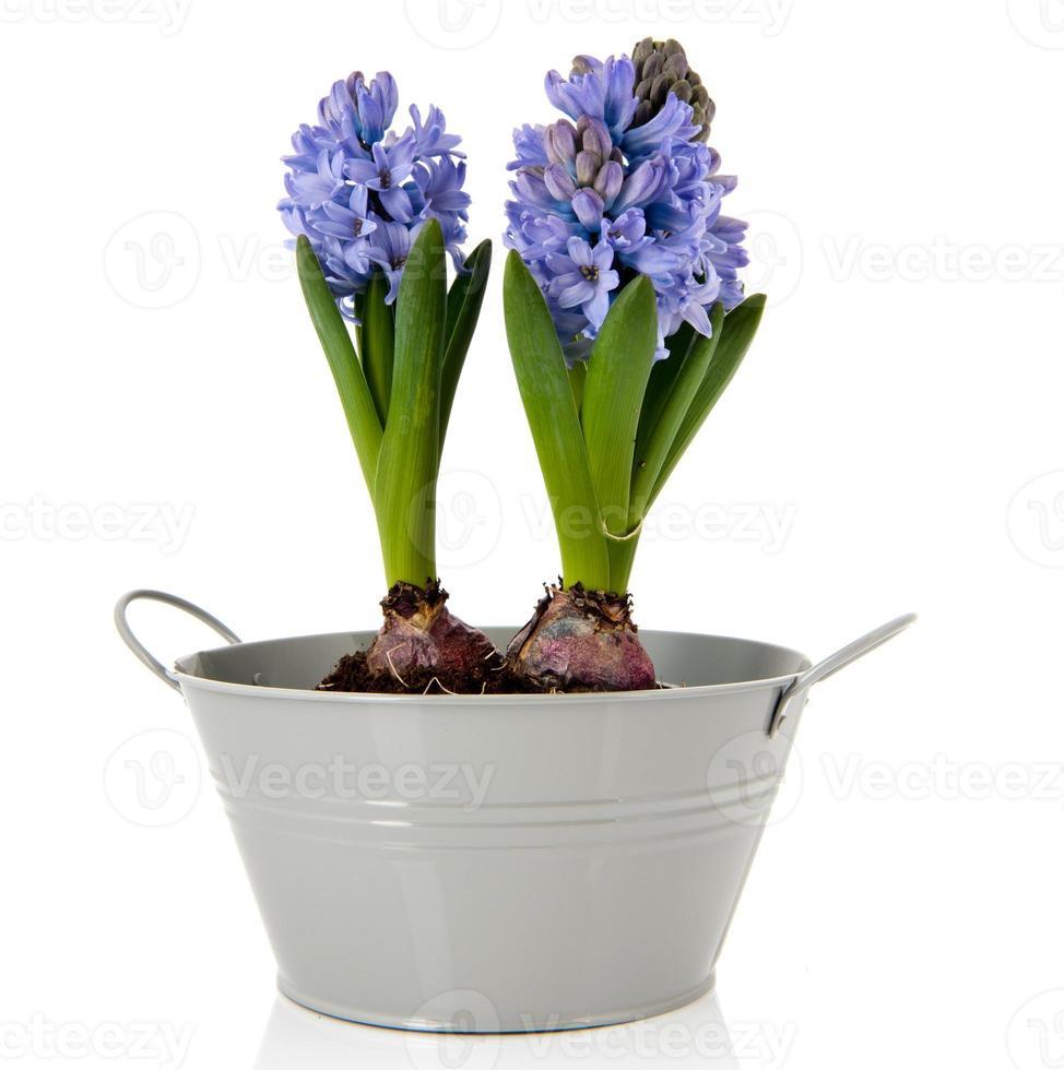 jacintos azuis no balde cinza foto